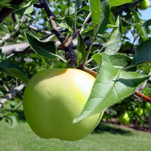 albemarle-pippin-apple-tree-malus-cv-3[1]
